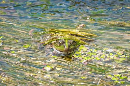 カエルは川のスライムに自分自身を装った。緑の藻を背景にヒキガエルのクローズ アップ。