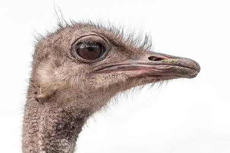 Un gros plan d'une autruche. Le plus grand oiseau sans vol. Banque d'images - 84790033