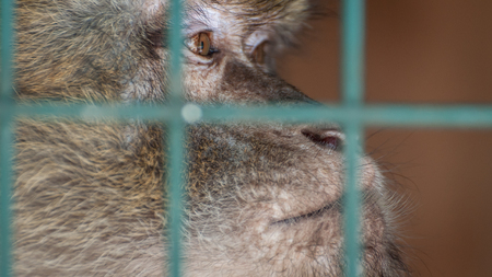 Monkey in a cage behind bars. Emotion of sadness, despair, depression. An animal in captivity. Sad look.