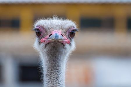 A close-up of an ostrich. The largest flightless bird. Banque d'images