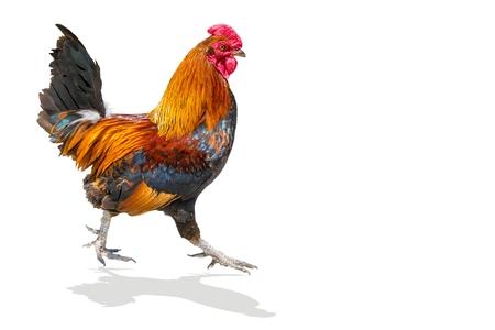 Coq coloré, coq isolé sur fond blanc. Banque d'images - 84897896