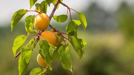 Bouquet d'abricots mûrs sur une branche sur une journée ensoleillée. Banque d'images