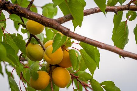 Bouquet d'abricots mûrs sur une branche sur une journée ensoleillée. Banque d'images - 85102750