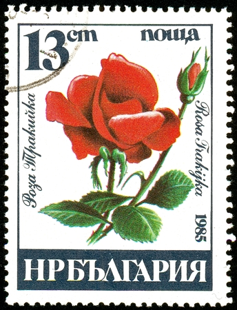 UKRAINE - circa 2017: A postage stamp printed in Bulgaria shows Rosa Frakijka, Series Roses, circa 1985 Editorial
