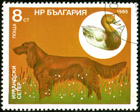 UKRAINE - circa 2017: A postage stamp printed in Bulgaria shows Irish Setter, Common Pochard, Aythya ferina, Series Hunting dogs, circa 1985