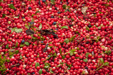 Ripe red appetizing berries cowberry, background, texture