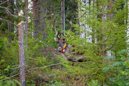 Finland. Deer with a GPS-collar. GPS beacon is used for deer registration and location information Archivio Fotografico