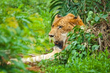 Adult calm lioness lies in dense green thickets Stock Photo