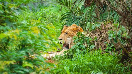 Adult calm lioness lies in dense green thickets Stock Photo - 128429155