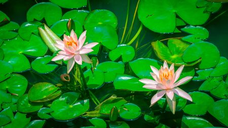 Beautiful pink Lotus Flower or waterlily on the background of green leaves Stock Photo
