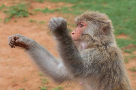 Unceremonious macaque peeps asks for food from a tourist. Insolent monkeys often take food or objects by force Stock Photo - 128430014