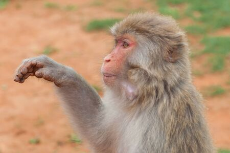 Unceremonious macaque peeps asks for food from a tourist. Insolent monkeys often take food or objects by force Stock Photo