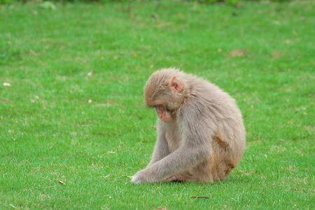 Macaque monkey on a green lawn found something and is studying the find Stock Photo
