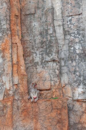 Portrait of a shy macaque sitting on a small ledge on a sheer stone cliff. Primate female