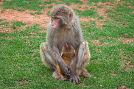 Macaque monkey on a green lawn feeds its young with breast mil Stock Photo - 128430062