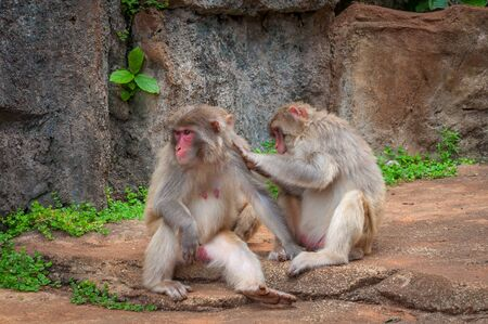 Rhesus macaque Family - Scientific name: Macaca mulatta. A popular activity in monkeys is the mutual cleaning of wool from parasites. A child learns to do it like a dad Stock Photo - 128430063