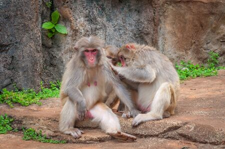 Rhesus macaque Family - Scientific name: Macaca mulatta. A popular activity in monkeys is the mutual cleaning of wool from parasites. A child learns to do it like a dad Stock Photo