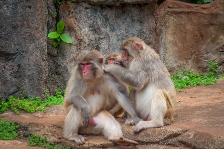 Rhesus macaque Family - Scientific name: Macaca mulatta. A popular activity in monkeys is the mutual cleaning of wool from parasites. A child learns to do it like a dad Stock Photo - 128430116