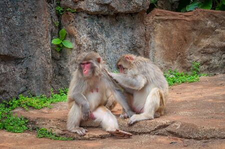 Rhesus macaque Family - Scientific name: Macaca mulatta. A popular activity in monkeys is the mutual cleaning of wool from parasites. A child learns to do it like a dad Stock Photo - 128430159