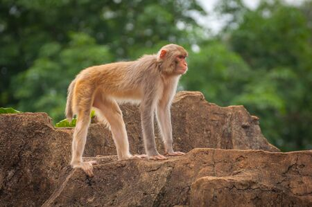 Adult macaque stands on top of a cliff Stock Photo