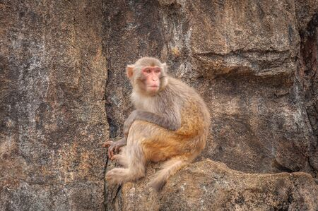 Portrait of a shy macaque sitting modestly on a small ledge on a steep stone rock Stock Photo