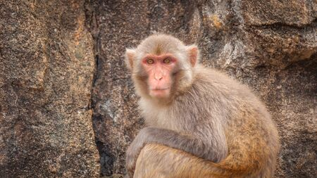 Portrait of an adult macaque against a background of a sheer rock Stock Photo - 128430163