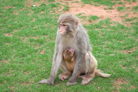 Macaque monkey on a green lawn feeds its young with breast mil Stock Photo