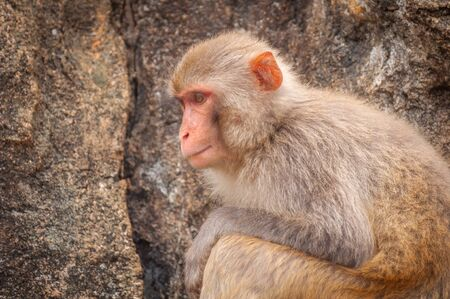 Portrait of an adult macaque against a background of a sheer rock