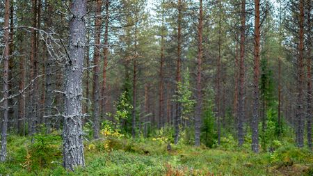 Finnish coniferous forest. In the foreground is a dry dead tree