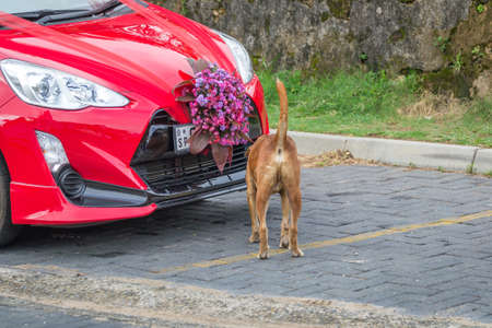 Galle, Sri Lanka - May 28, 2016: Car for just married. The dog sniffs a red car.