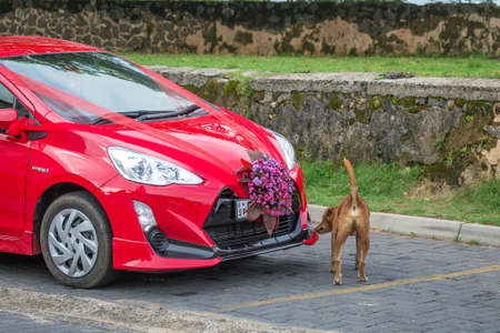 Galle, Sri Lanka - May 28, 2016: Car for just married. The dog sniffs a red car Éditoriale