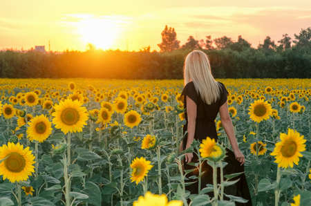Beautiful young blonde model in black dress on a field of sunflowers at sunset Stok Fotoğraf