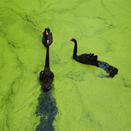 Three black swans swimming in a lake Stock Photo