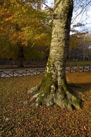 The autumn season in the Umbra Forest, Gargano, Apulia, Italy 版權商用圖片