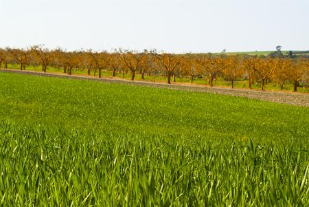 Wheat fields and orange olive grove, Apulia, Italy