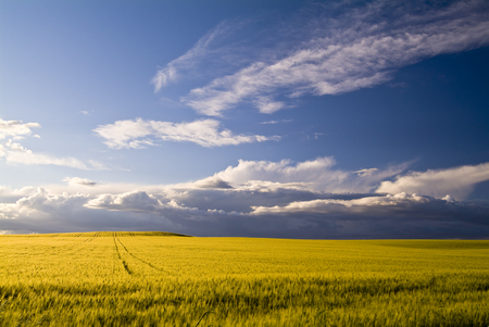 Wheat fields in the Spring at Apulia, Italy