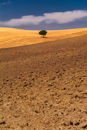 Alone tree in the wheat fields, summer season
