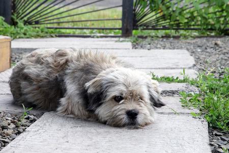 mongrel: Mongrel dog lies in the courtyard garden and sad. Pets Stock Photo