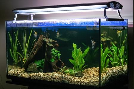 fish tank: Peces tropicales nadando en el acuario o pecera iluminada.