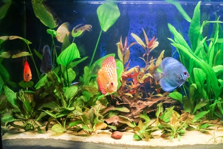 freshwater aquarium plants: Typical home freshwater aquarium with green plants and tropical fish.