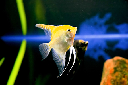 pterophillum scalare typical Rio river tropical fish Stock Photo - 22525389