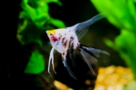 scalare: pterophillum scalare typical Rio river tropical fish
