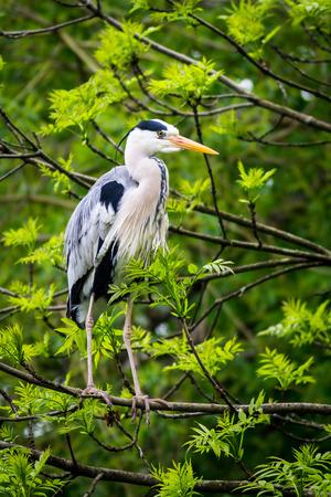 animal limb: A large grey heron perched on a tree branch.  Species:  Ardea cinerea