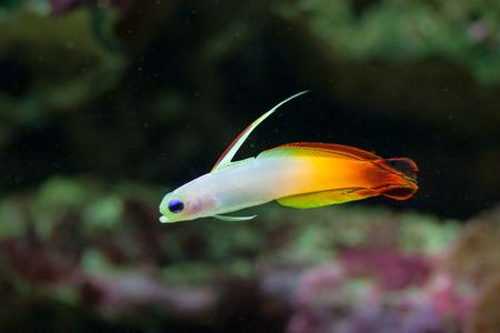 pez pecera: La vida bajo el agua maravillosa y colorida en el mar tropical