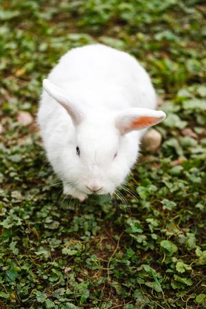 lagomorpha: Close up of white rabbit sat on ground. Stock Photo