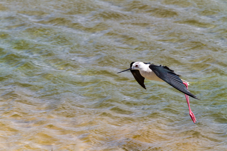 waterbird: A black and white waterbird landing in the water. Stock Photo