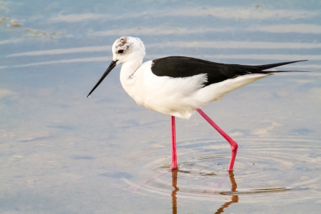 Side view of long legged bird wading in lake or water. photo