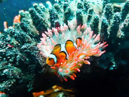 amphiprion ocellaris: Amphiprion ocellaris wit a beautiful anemone.
