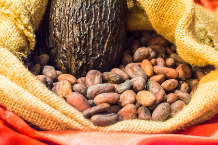 Raw cocoa or cacao beans in burlap bag with unopened pod. photo