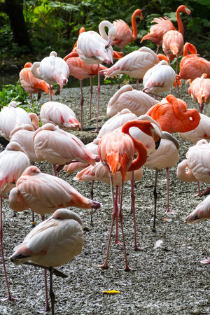preening: Flock of flamingos preening outdoors.